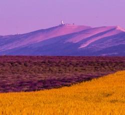 L'alternance des champs de petit épautre et de lavande, dominés par le célèbre Mont Ventoux